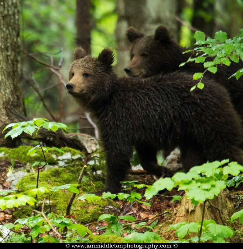 Two one year old Brown Bear Cub in the forest in Notranjska, Slovenia.
