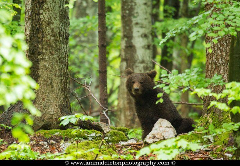 Brown Bear in the forest in Notranjska, Slovenia.