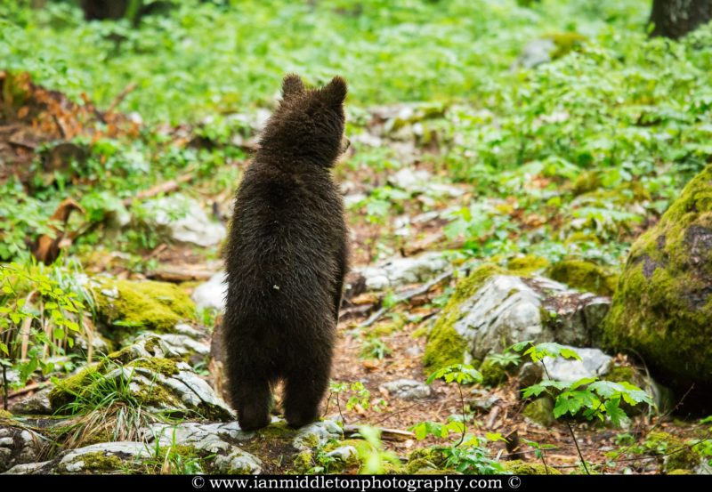 A one year old Brown Bear Cub standing up straight on its back legs in the forest in Notranjska, Slovenia.