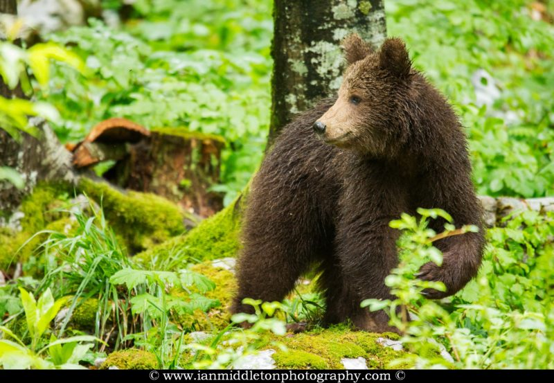 A one year old Brown Bear Cub in the forest in Notranjska, Slovenia.