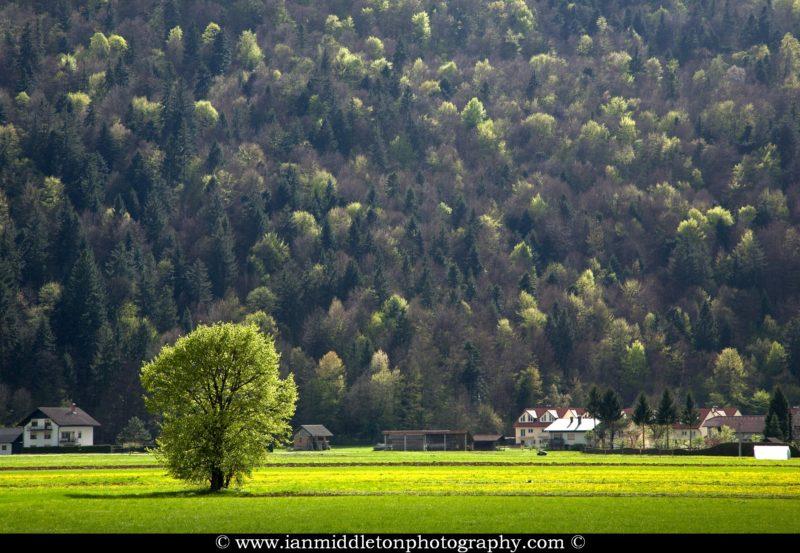 Spring view across a field of dandelions to the little village of Tomiselj on the Ljubljana Marshland (Ljubljansko Barje), a large area of wetland 160 square kilometres in size.