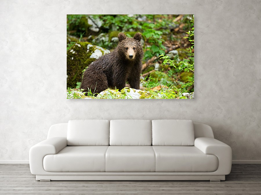 European Brown Bear - acrylic photo print example