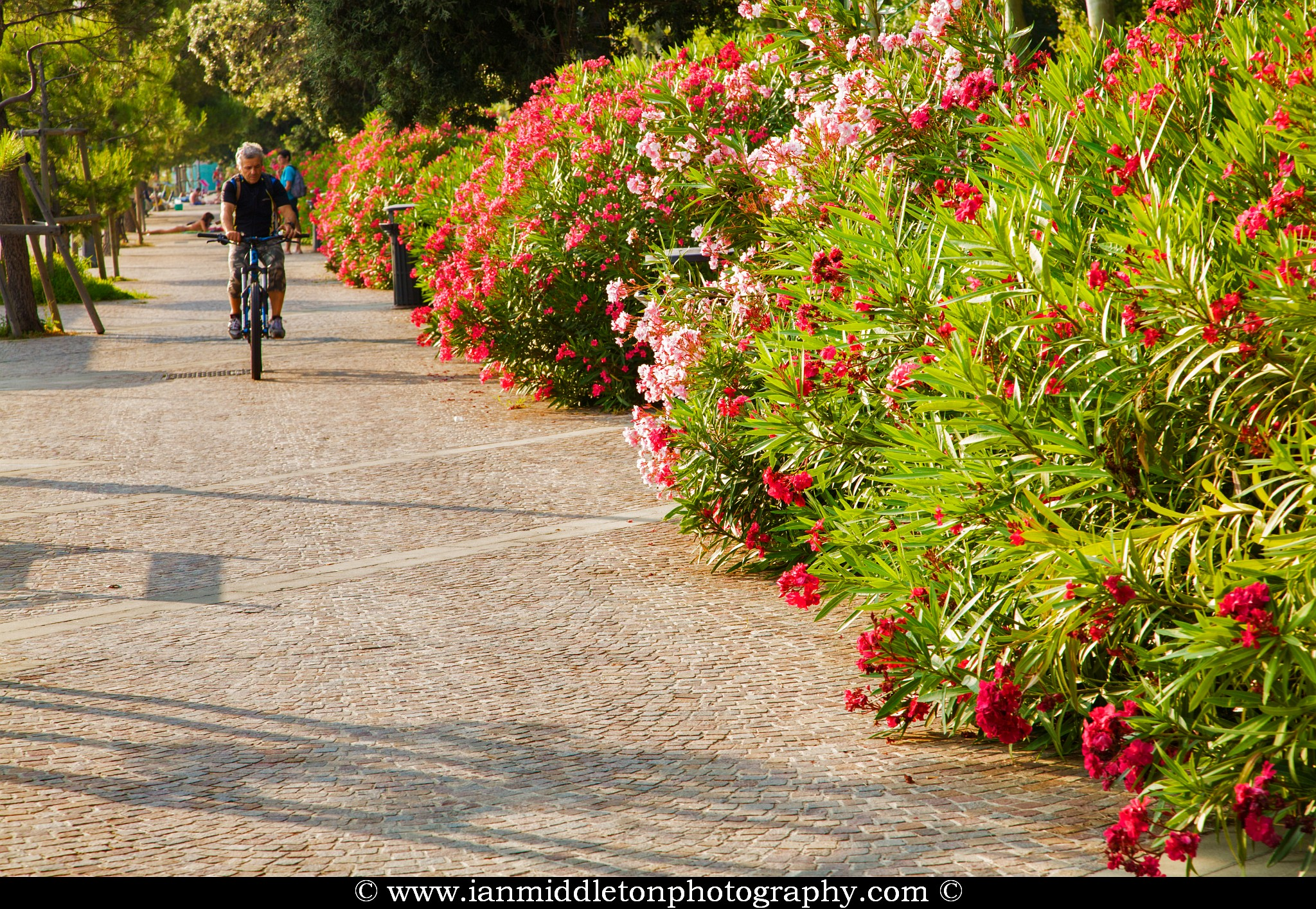 Man cycling along the beautiful Viale Miramare promenade lined with Oleander flowers in Barcola, Trieste, Italy.