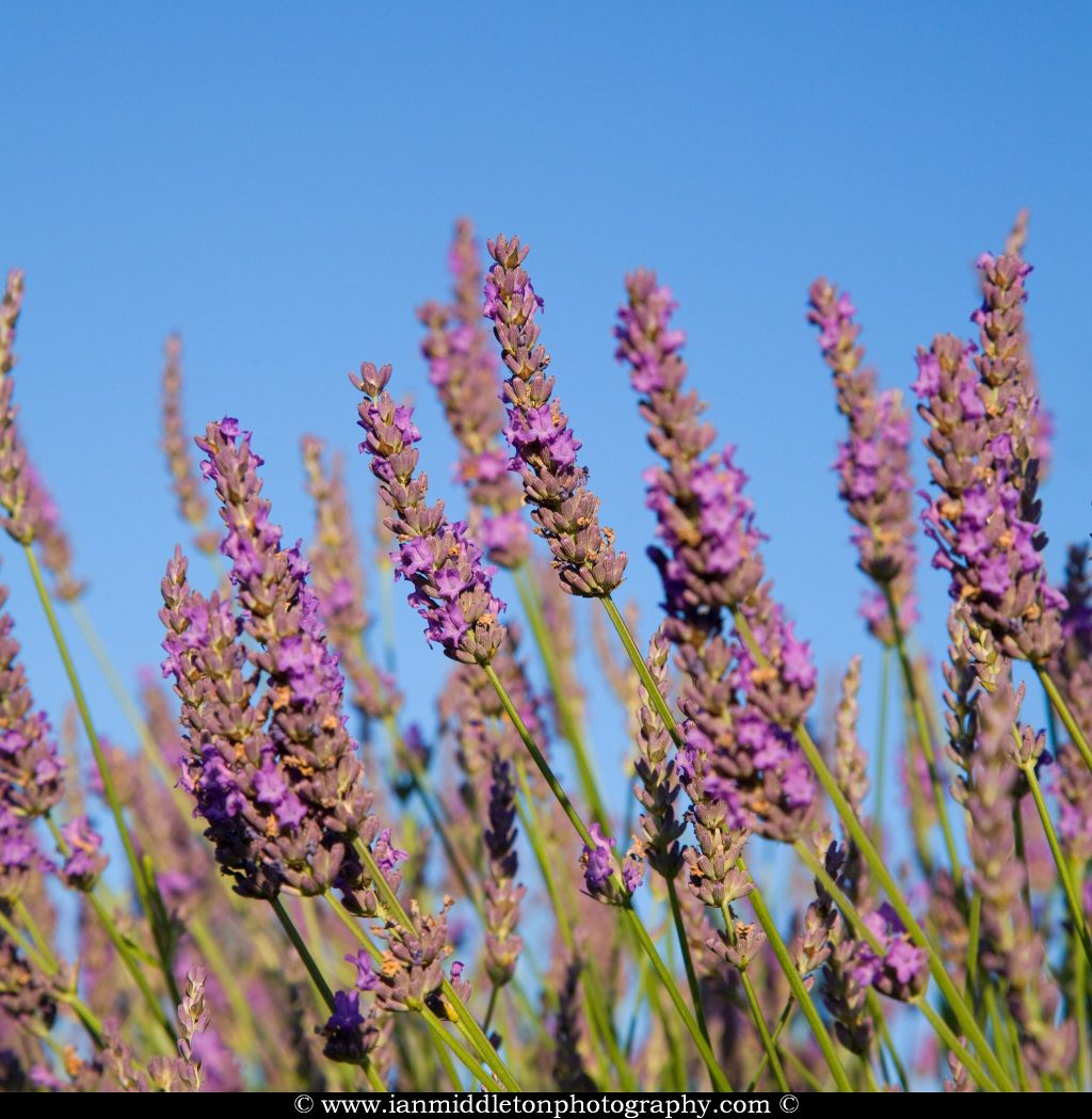 Lavender fields at Hartley Park Farm, Alton, Hampshire, England