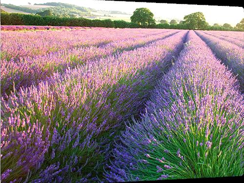 Lavender fields metal print example