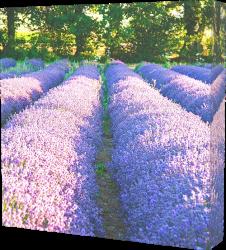 lavendar canvas print example